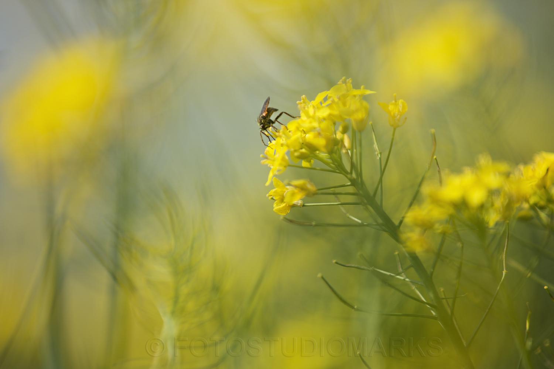 Insekt-koolzaad
